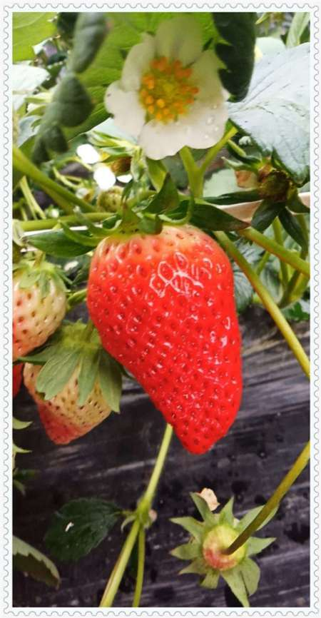吉林大将军草莓制作