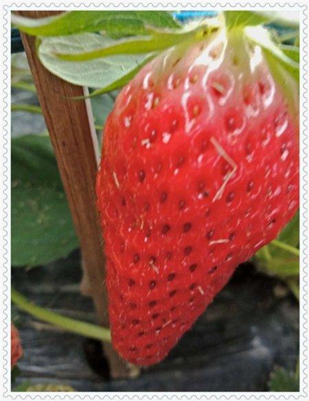 吉林天使之恋草莓苗种植基地