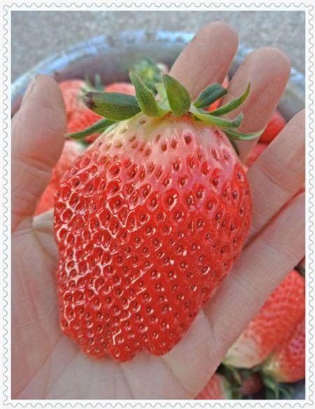 吉林全明星草莓苗产量高