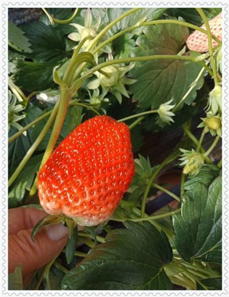 吉林明宝草莓苗