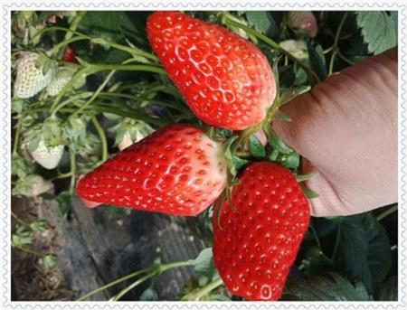 吉林明宝草莓苗种植基地