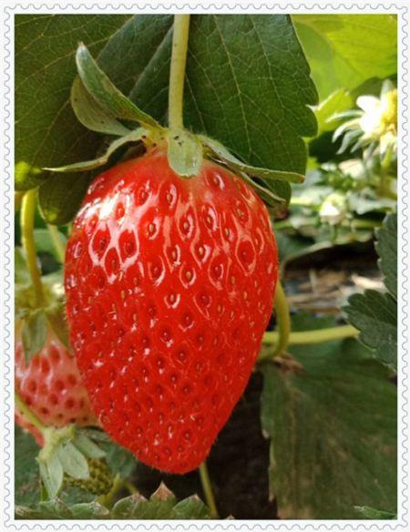 吉林大将军草莓物美价廉