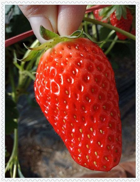 吉林红宝石草莓物美价廉