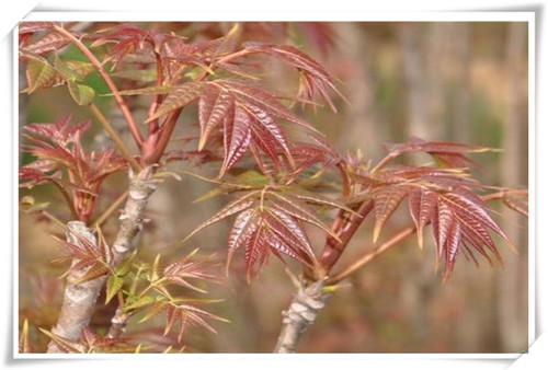 吉林红油香椿苗品种介绍