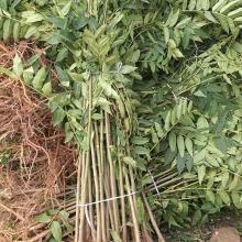 吉林红油香椿苗种植基地