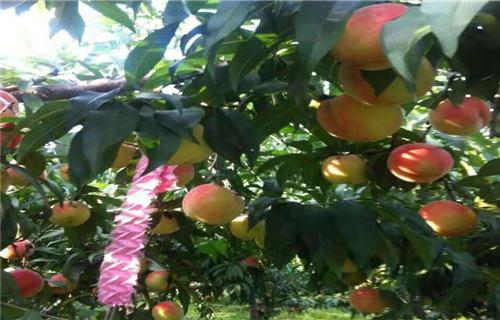 吉林早熟蟠桃苗种植基地