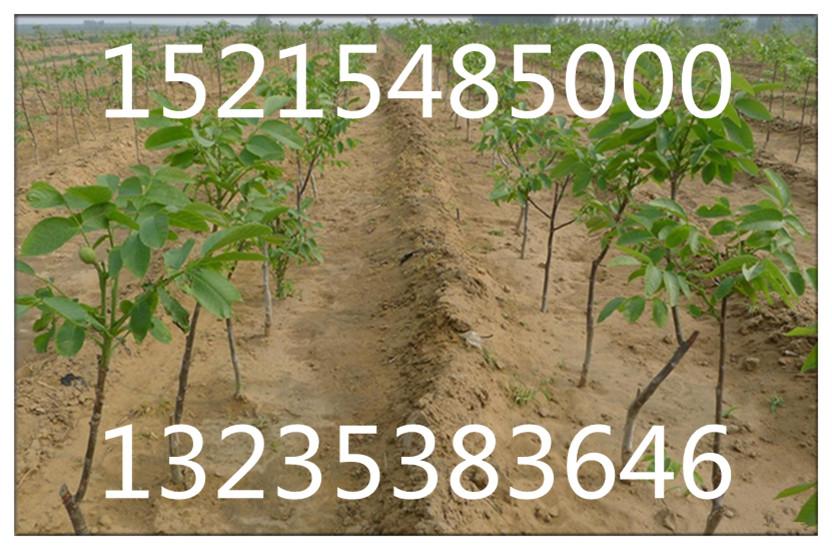 以上是磨盘枣树苗的图片